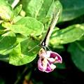 Photos: 豆科の花にウラナミシジミ