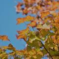 平湖的紅葉