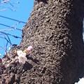 Photos: 桜だ