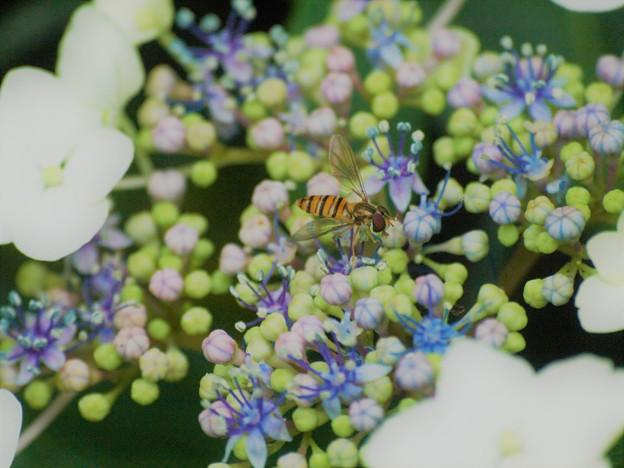 紫陽花ハナアブ