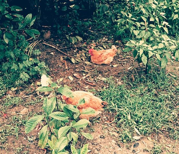 庭には2羽鶏が居た