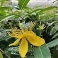 Photos: 雨のヒペリカムカリシナム