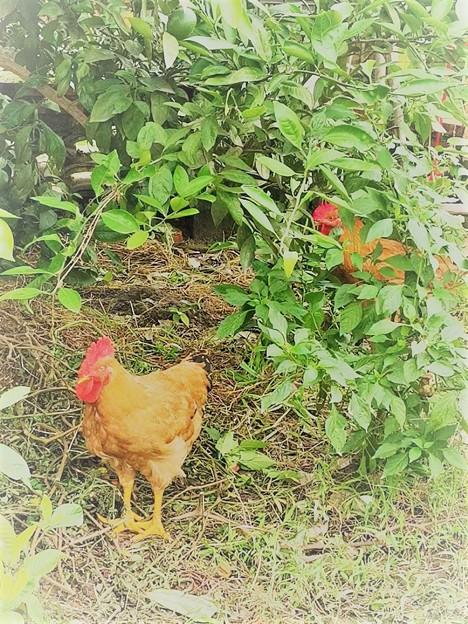 庭にわ二羽にわとりが居た