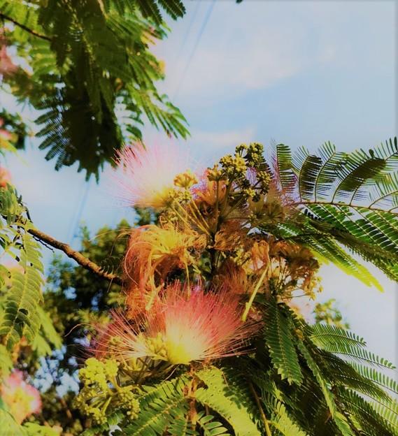 合歓の木の花又咲いてる