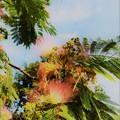 Photos: 合歓の木の花又咲いてる