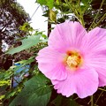 Photos: 扶養の花