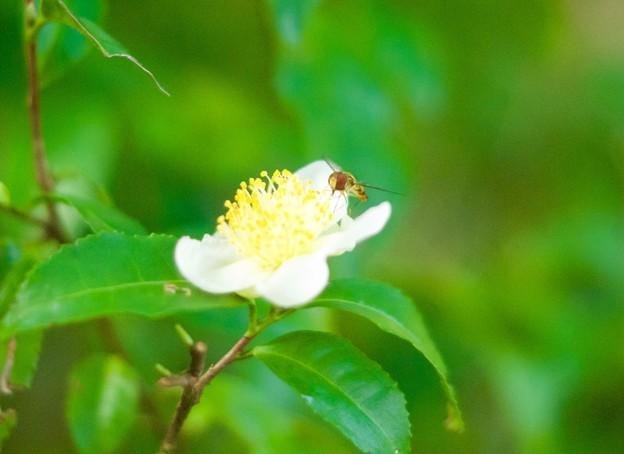 お茶の花に花アブ