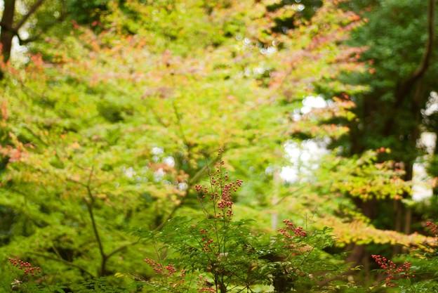Photos: 南天向こうに紅葉