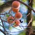 Photos: シジュウカラも柿食べるよ