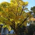 Photos: 銀杏の古木