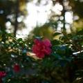 森の山茶花