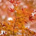 赤くなった紅葉