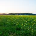 菜の花畑の夕日-01489