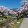 観音寺川桜-1