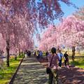 写真: 日中線記念遊歩道枝垂桜-2