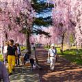 写真: 日中線記念遊歩道枝垂桜-1