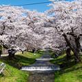 写真: 観音寺川桜-10