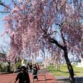 写真: 日中線記念遊歩道枝垂桜-11