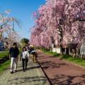 日中線記念遊歩道枝垂桜-14