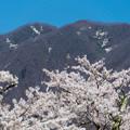 写真: 観音寺川桜-16