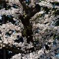 観音寺川桜-18