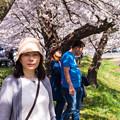 観音寺川桜-29