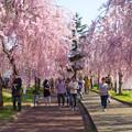 日中線記念遊歩道枝垂桜-32