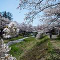 観音寺川桜-34