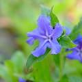 写真: 青いヒトデ