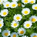 Photos: 季節の花 春