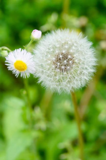 季節の花 春 たんぽぽ もうすぐ旅立ちかな