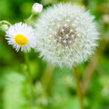 写真: 季節の花 春 たんぽぽ もうすぐ旅立ちかな