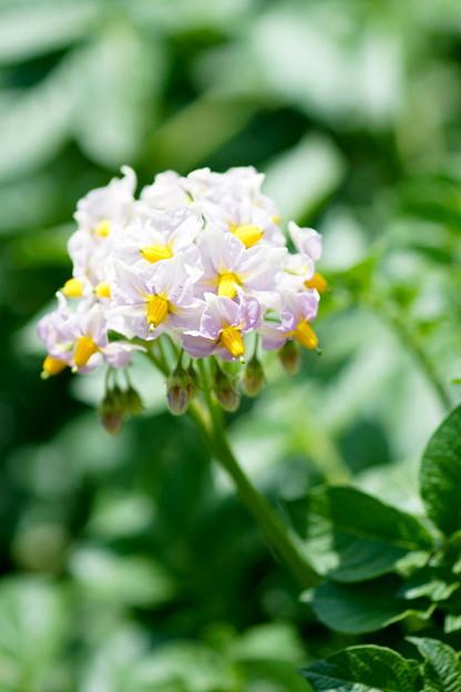 写真: じゃがいもの花