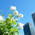 写真: 大阪 中之島バラ園