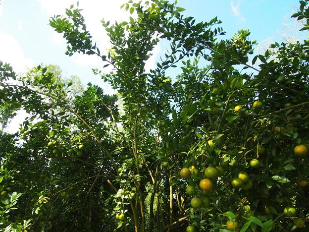 みかんの木/Orange Tree