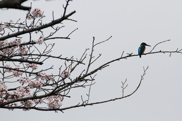 一応桜カワセミ・・・