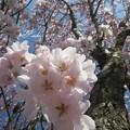 公園の外の桜