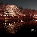 写真: 夜桜