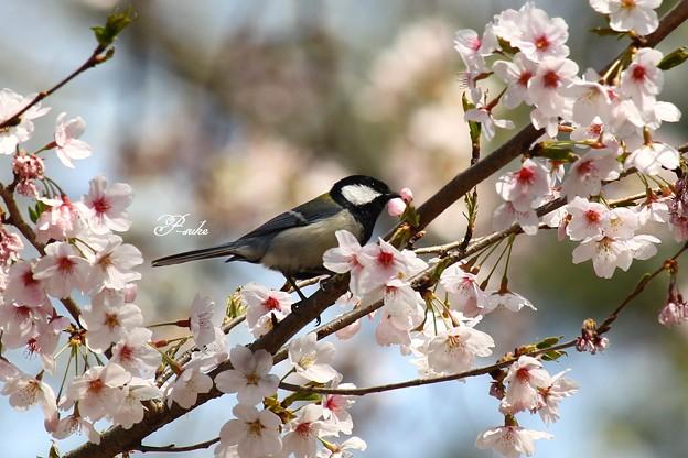 桜シジュウカラ