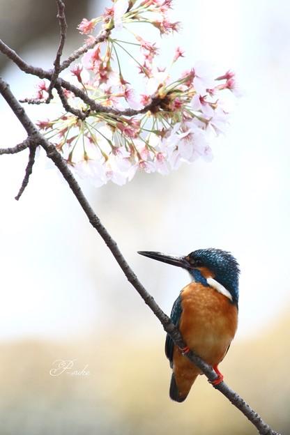 桜カワセミ2