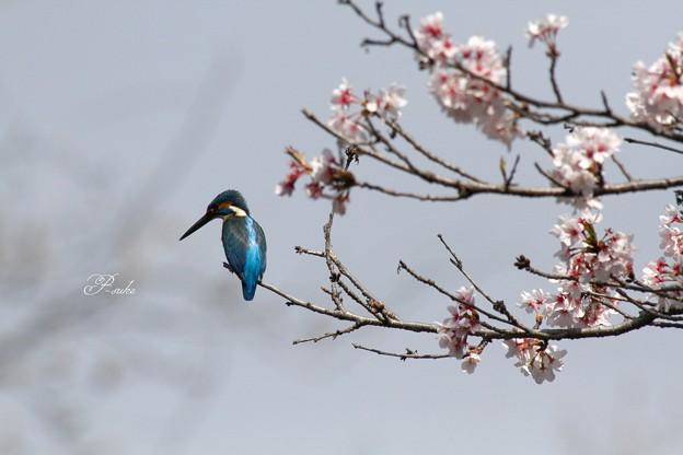 桜カワセミ 3
