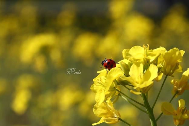 菜の花テントウ