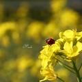 写真: 菜の花テントウ