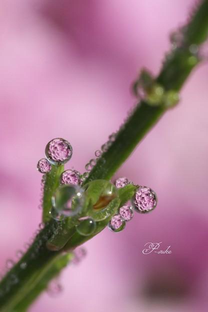 水玉の中の芝桜