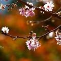 寒桜と紅葉