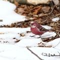 Photos: 雪マシコ