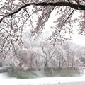 Photos: 雪見桜1