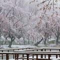 Photos: 雪見桜2