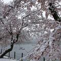 Photos: 雪見桜3