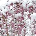 Photos: 雪見桜4